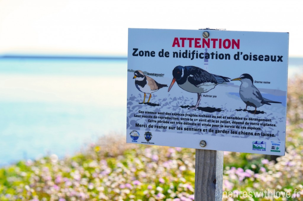 Ile de Sein - Attention nidification