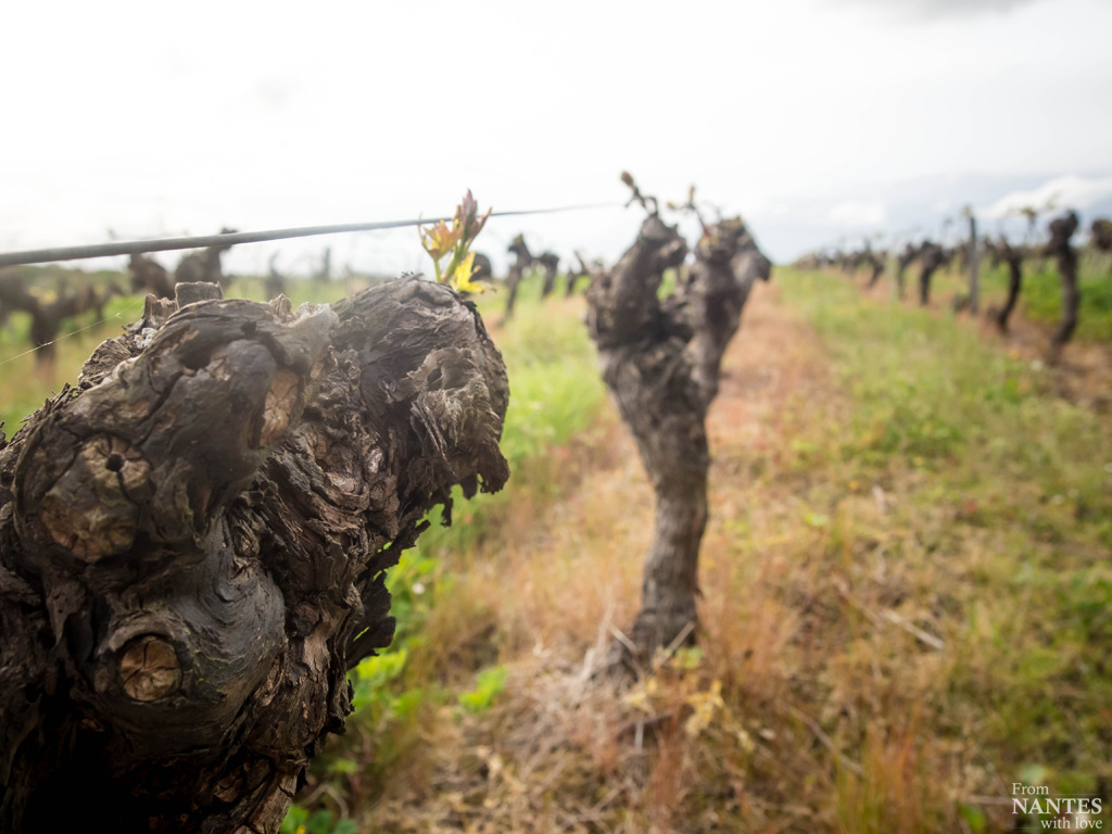 Domaine viticole des Génaudières - pays d'Ancenis - loire Atlantique