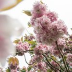 Une balade comme au Japon, sous les cerisiers en fleurs du Parc Oriental de Maulévrier
